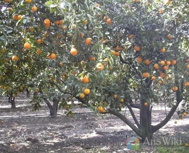Как приготовить фруктовый сад к зиме